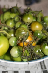 ripening-green-tomatoes