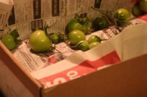 Garden Tomatoes 10.09 021