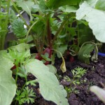 growing radishes