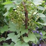 growing redcurrants