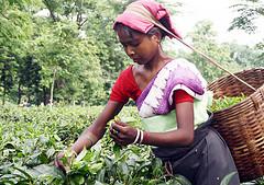 assam tea plantation