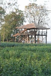 tea plantation assam