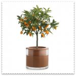 ornamental orange plant