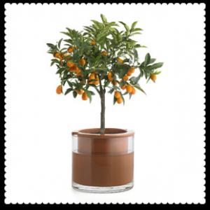 ornamental orange plant
