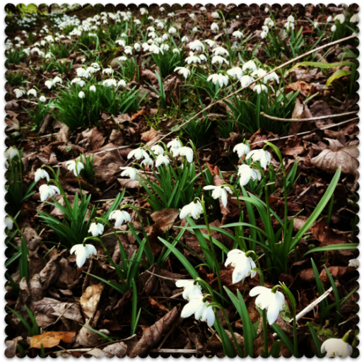 miss thrifty - snowdrops